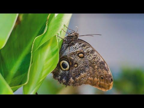Variantai drugelis